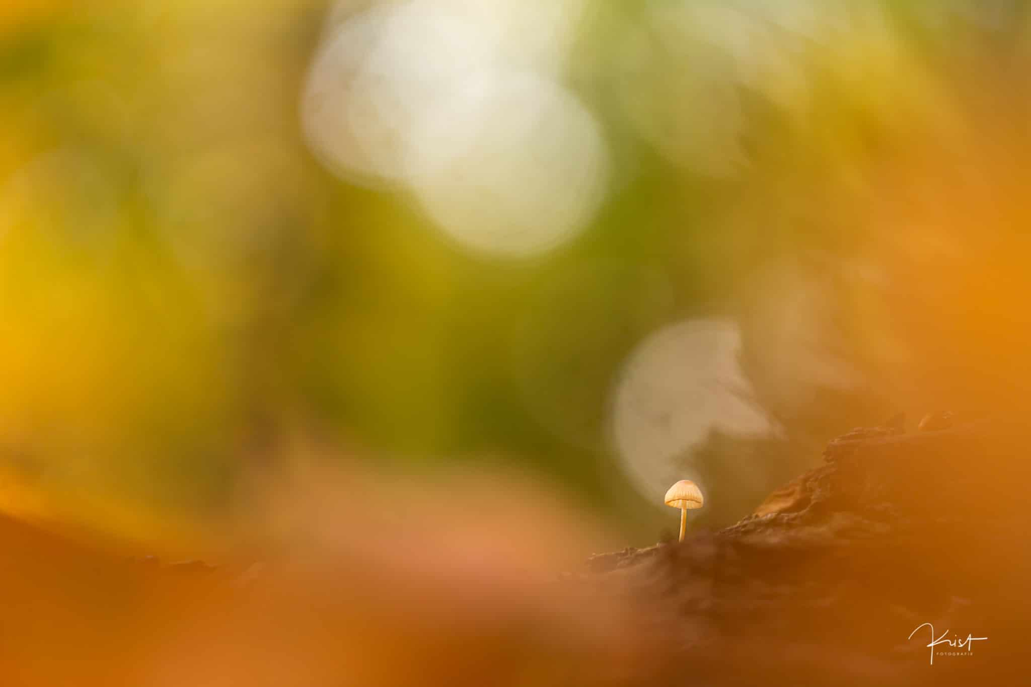 Paddenstoelen - Fotografie Krist