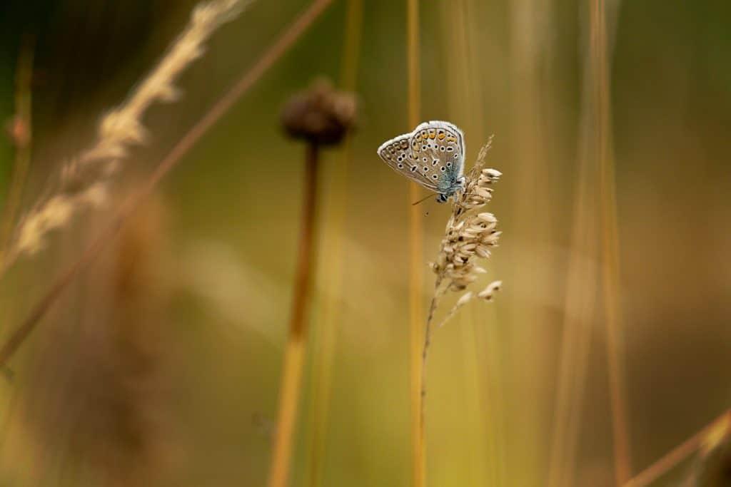 Vlinders - Butterfly - Icarusblauwtje