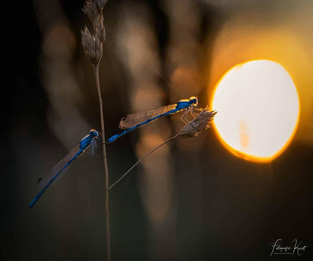 Deze waterjuffers genieten van de laatste zonnestralen van een prachtige dag langs de vijver in Bergelen, Gullegem