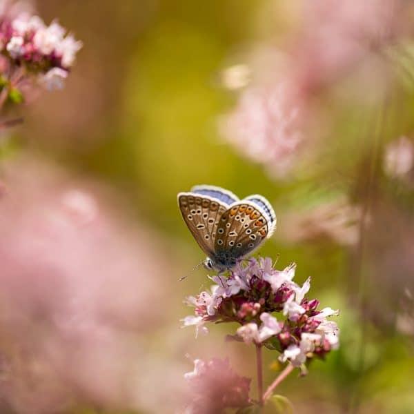 Icarusblauwtje - Fotografie Krist