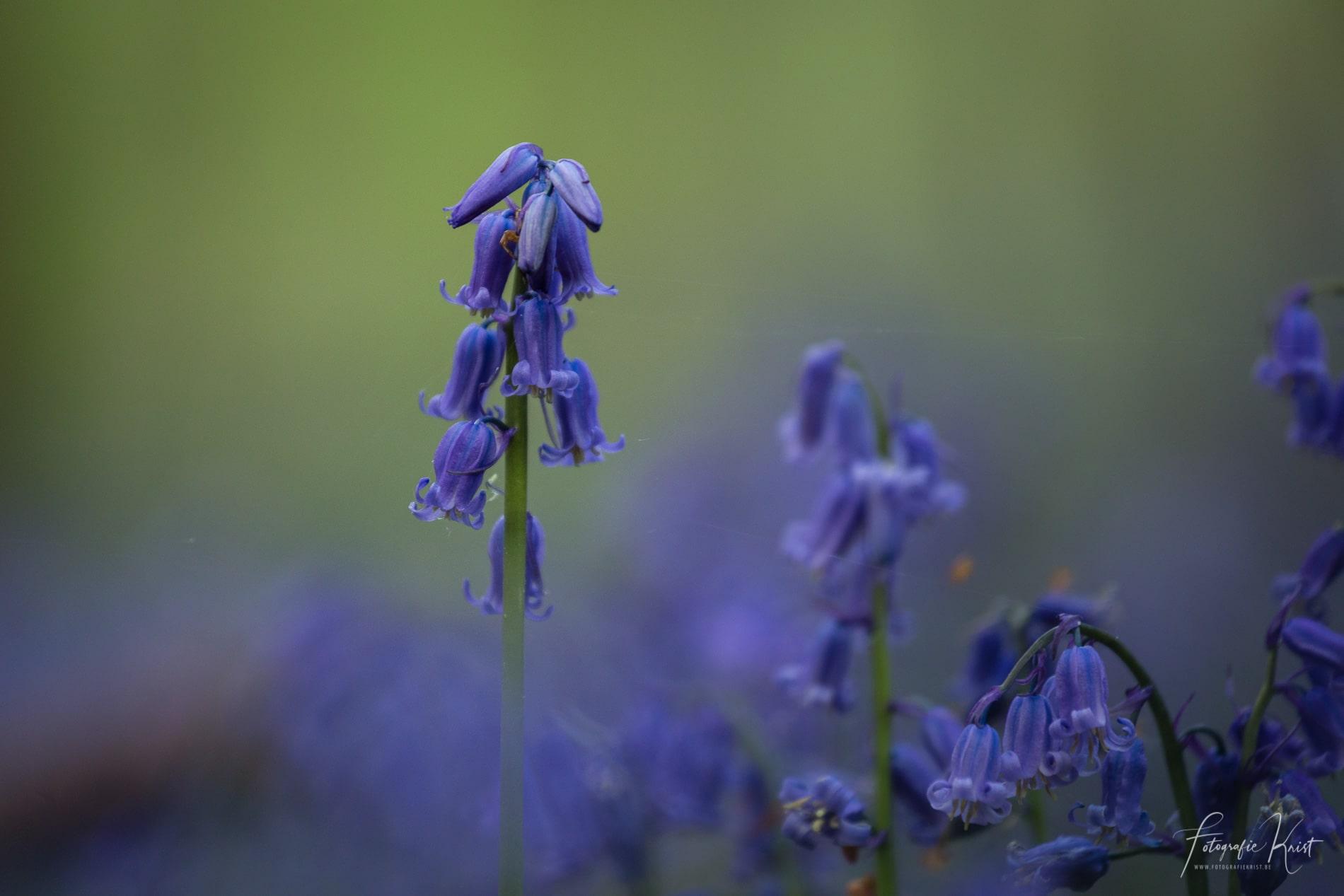 Hallerbos Boshyacinten - Bluebells